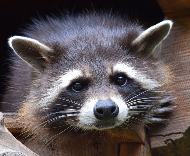 No Raccoons Were Squeezed in the Making of this DUI Hoax Raccoon With No Hair