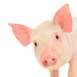 alcohol monitoring device fooled by pigs ear