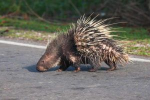 porcupine on road leads to Michigan DUI charge
